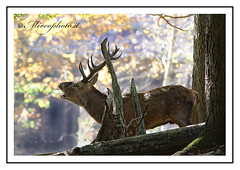 Cervo in bramito  www.mircophoto.it-1416-f-2 (Mirco Dalpr) Tags: wild tiere roedeer animali cervo hirsh cervuselaphus