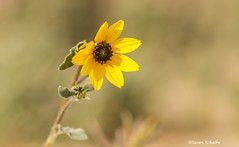 Sunflower in the dunes (Photosuze) Tags: flowers flora wildflowers desert dunesunflower sunflower yellow nature petals bloom
