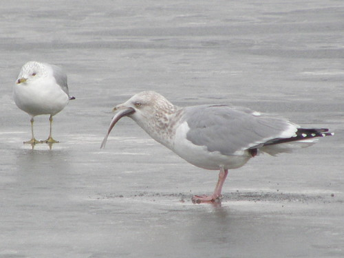 Herring and RB Gull