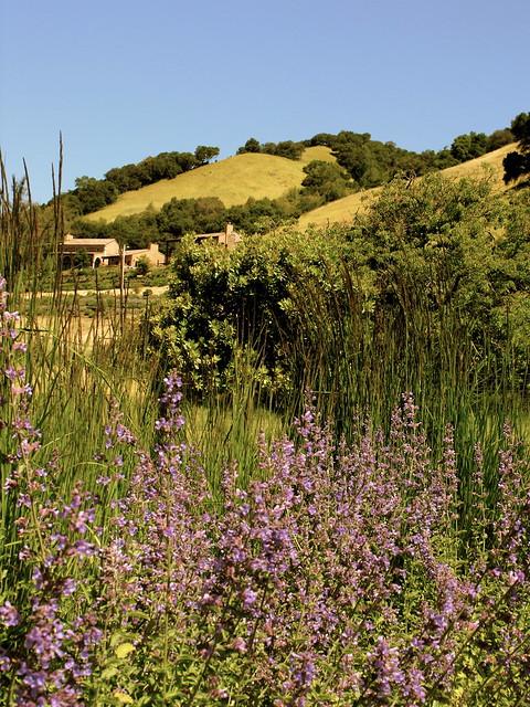 Lavender in Napa