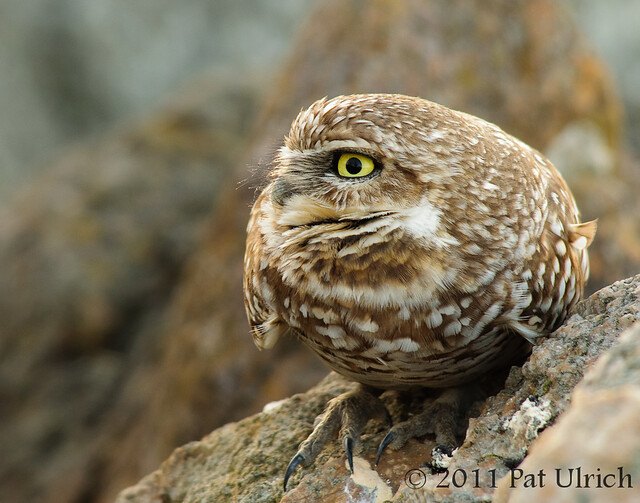 Western burrowing owl watching the trail - Pat Ulrich Wildlife Photography