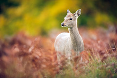 which way! (andrew evans.) Tags: morning autumn trees england nature fairytale forest countryside kent woods nikon bokeh wildlife deer ethereal wonderland storybook magical f28 enchanted d3 400mm