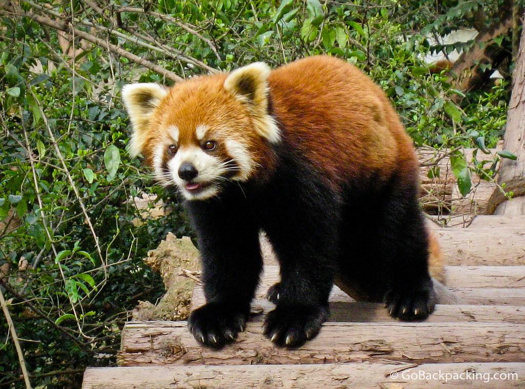Close up of a red panda