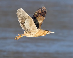 Bittern Flight (Andrew Haynes Wildlife Images ( away for a while )) Tags: bird heron nature wildlife flight coventry warwickshire bittern brandonmarsh canon7d ajh2008