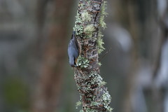 IMG_7673 (Natural Kingdom) Tags: sittaeuropaea eurasiannuthatch 茶腹鳲 鳲科