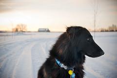Sunrise Junior (ScooterNSticks) Tags: dog shepherd sheepdog belgian groenendael groenendal