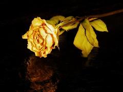 Reflection (naenobe) Tags: life flower rose still projectflickr uglydeadroseaccordingtomy6yearold