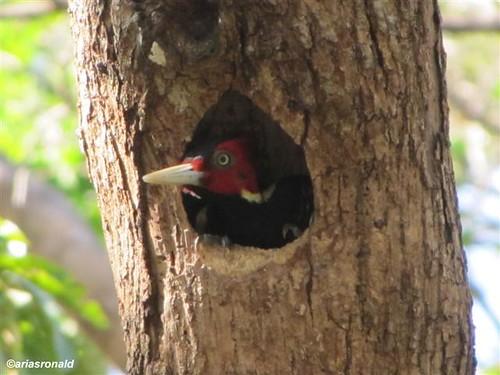 EL VIEJO WETLANDS- Carpintero con nido
