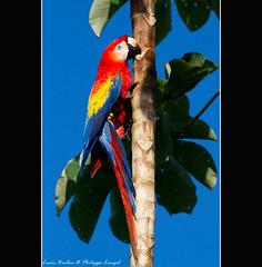 Scarlet macaw - Corcovado National Park - Costa Rica (Lucie et Philippe) Tags: voyage trip travel bird birds america nationalpark costarica wildlife central corcovado oiseau ara oiseaux lasirena centrale scarletmacaw osapeninsula amérique