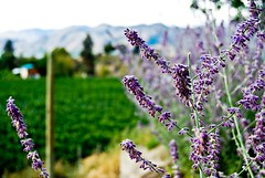 pic (108) (yannqa) Tags: okanagan winery levender
