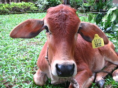Fergie De (sachamika) Tags: portrait pet brown animal canon cow calf wassa canonpowershota590is