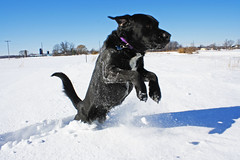 Napoleon jumping through the snow (reflectionsanddreams) Tags: county dog snow black dogs fur jump jumping mutt furry lab labrador michigan lansing retriever napoleon labradorretriever doggies doggie livingston fowlerville