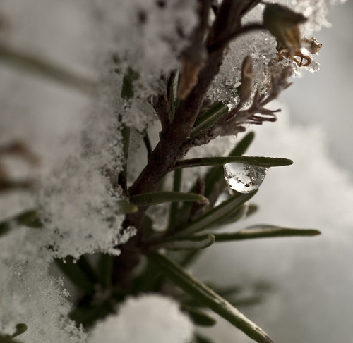 Ice Drop on Rosemary - Copyright R.Weal 2010