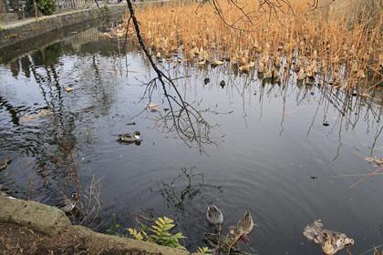 不忍池の水鳥
