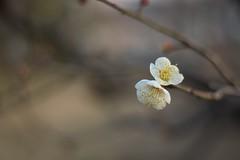 Prunus mume (Jim Mayes) Tags: digital 50mm pentax ricoh rikenon k100d xrrikenon50mmf17