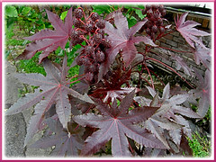 Ricinus communis with attractive reddish-purple foliage (jayjayc) Tags: plants maroon seeds foliage malaysia kualalumpur seedpods shrubs neighbourhood castoroilplant ricinuscommunis reddishpurple castorbeanplant palmateleaves jayjayc