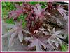 Ricinus communis with attractive reddish-purple foliage (jayjayc) Tags: plants maroon seeds foliage malaysia kualalumpur seedpods shrubs neighbourhood castoroilplant ricinuscommunis reddishpurple castorbeanplant palmateleaves jayjayc