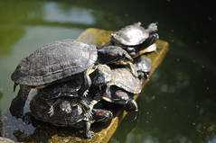 Yoga turtles (Melinda ^..^) Tags: yoga turtle reptile sunbath mel melinda macau   chanmelmel  kuniamtongtemple