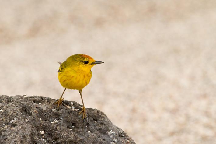 012611_yellowWarbler
