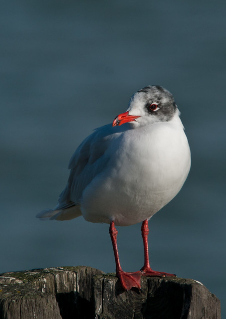 Mediterranean gull on post