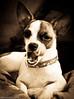 Paisley (Canine at Heart Photography) Tags: dog chihuahua chi paisley toydog 21411
