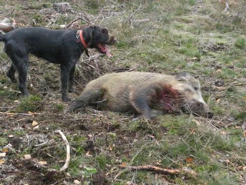 Drahthaars on Big Game & Fur - Gun Dog Forum