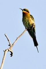 Chestnut-headed Bee-eater (Gane) Tags: bird forest woods branch jungle srilanka beeeater wilpattu chestnutheadedbeeeater