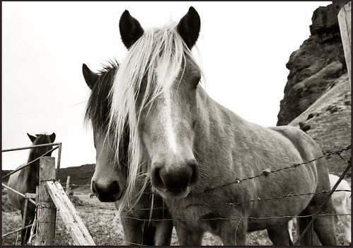black and white pictures of horses. Black and White Icelandic