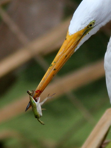 Great Egret with anole close 20110220