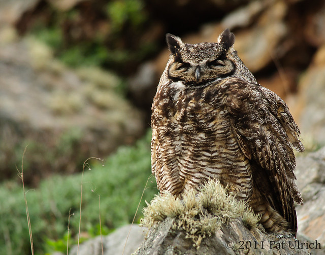 Great horned owl - Pat Ulrich Wildlife Photography