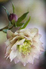 A touch of spring (Jacky Parker Floral Art) Tags: christmas uk pink portrait flower macro rose closeup bulb spring flora double single bloom flowering hellebore bud hybrid helleborus lenten verticalorientation jackyparkersignsofspringassignment