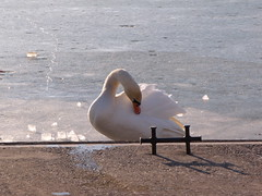 swan*.* (n0ncHi) Tags: lake animals swans balatonice