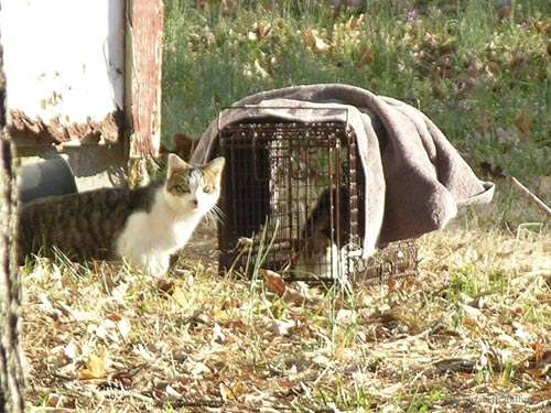 Feral cats approach the safety trap