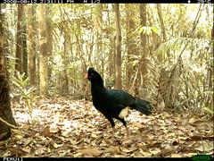 Salvin's Currasow (siwild) Tags: largebirds file:name=img0139jpg sequence:index=1 sequence:length=1 siwild:study=peruocelotsurvey siwild:studyId=arabelasets siwild:plot=arabela geo:locality=northernperu taxonomy:group=largebirds siwild:location=peruloch siwild:camDeploy=perudeploy16 sequence:key=1 siwild:region=peru salvinscurrasow mitusalvini taxonomy:species=mitusalvini taxonomy:common=salvinscurrasow BR:QCID=5493758268 BR:batch=sla1220110304041736 siwild:date=200808121431100 siwild:trigger=perubirdstaff1439 siwild:imageid=3974 sequence:id=perubirdstaff1439 file:path=epuntoh723822peru11img0139jpg siwild:species=320