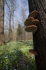 _MG_1187Wald mit Buschwindrschen (Anemone nemorosa), Wood anemone (dietmarnill) Tags: plant plante spring fruehling printempspflanze buschwindroeschenanemonenemorosawoodanemoneanfruehjahr vpilzeschwaebischealbswabianmountainswaldforestforetdeutschlandbuschwindroeschenanemonenemorosawoodanemoneanmonesylvifruehjahrfruehlingspringprintempspflanzeplantplantevgtalpilzeschwaebischealbswabianmountain