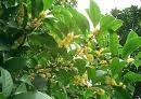 桂花純露(植物原液)-20100906165414_m