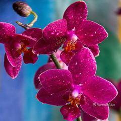 Fascinantes Orquídeas - Orchids fascinating (Pilar Azaña Talán ) Tags: madrid españa color luz canon spain orquídeas gotasagua 100commentgroup pilarazaña