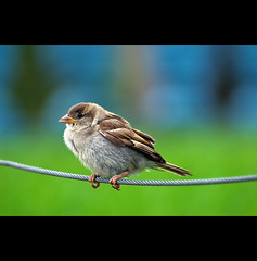 spatz (~janne) Tags: green bird animal dof olympus blau tier vogel janne kabel spatz sperling janusz passeridae grüb e520 ziob
