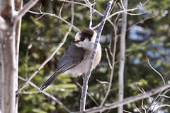 Gray Jay (Jon & Brigid) Tags: bird minnesota cabin mn northernminnesota grayjay greyjay perisoreuscanadensis whiskeyjack canadajay northernmn bearskinlodge
