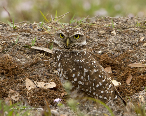_MG_6681_030611_Burrowing Owl