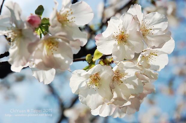 2011陽明山花季05.jpg