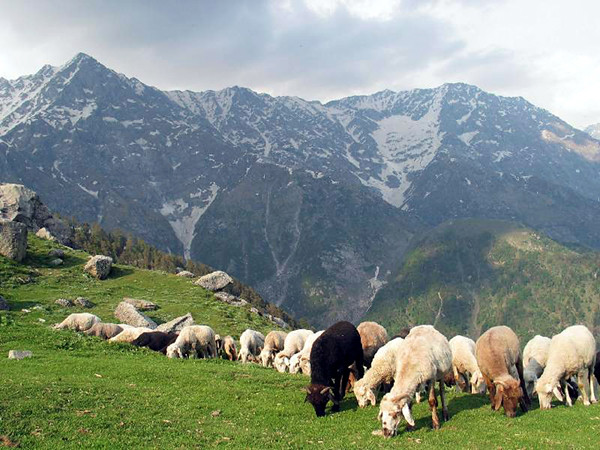 Triund Grazing Sheeps