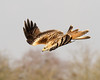 Kite Dive (Andrew Haynes Wildlife Images) Tags: bird nature wales wildlife redkite gigrinfarm canon7d ajh2008