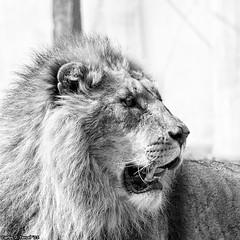 The Lion King (Carlos J. Teruel) Tags: espaa nikon murcia d300 105mm terranatura 2011 nikkor105mmf28gvrmicro murciamurcia xaviersam fotoencuentrosdelsureste