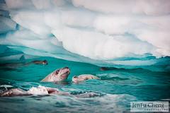 110127_Antarctica-78-web (JenFu) Tags: ocean travel blue sea cold ice water swimming swim heart floating antarctica seal iceberg float cheng 2011 jenfu crabeater nekoharbour lobodon carcinophaga