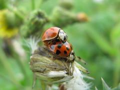 WARNING!!! Bug Porn (Debi's kids (Here very little)) Tags: macro nature canon bug insect ladybird ladybug flickrgallery fantasticnature flickraward beautifulmonsters ninespottedladybug doublyniceshot flickraward5