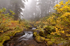 Autumn in Willamette Forest (Dan Sherman) Tags: autumn trees fall fog creek forest pacificnorthwest dansherman danielsherman danshermanphotography dsherman dshermanphotography danshermanphotographycom dshermanphotographycom