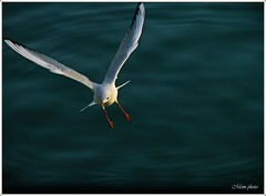 In fly... (Mem Foto) Tags: sea italy canon eos moving mare campania seagull flight 7d salerno gabbiano specanimal mem7672