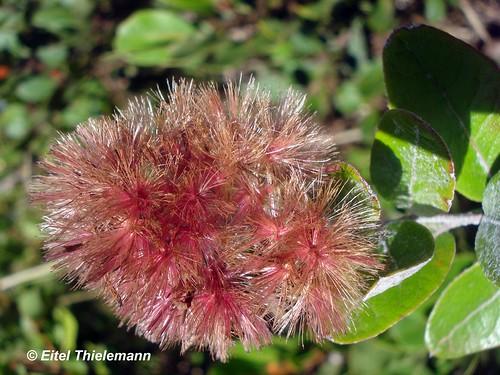 Detalle de los frutos de  <i>Proustia pyrifolia</i>, se aprecia el vilano que sirve para diseminar las semillas.