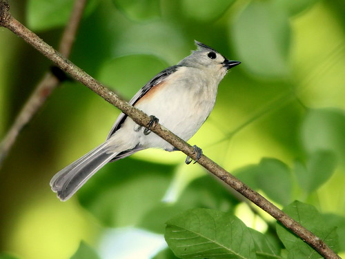Tufted Titmouse 20110313